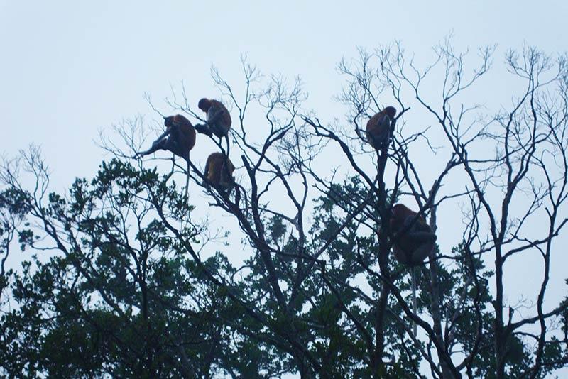 Monos narigudos Borneo