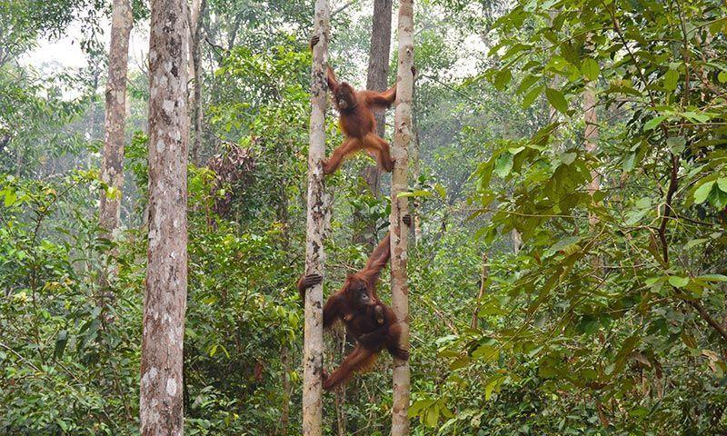 Excursión de orangutanes en Borneo