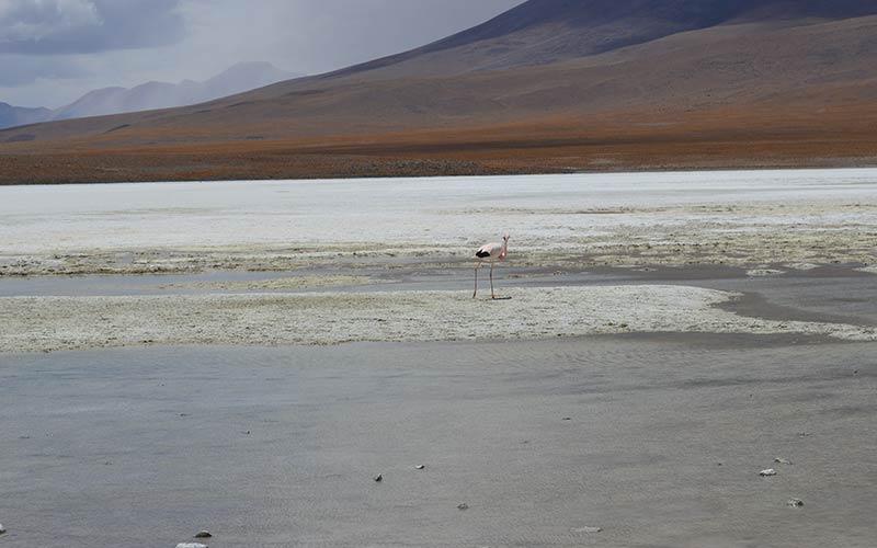 Flamencos en las lagunas altiplánicas
