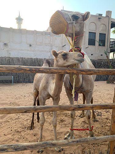 Camellos en Dubai