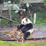 Qué ver en Chengdu