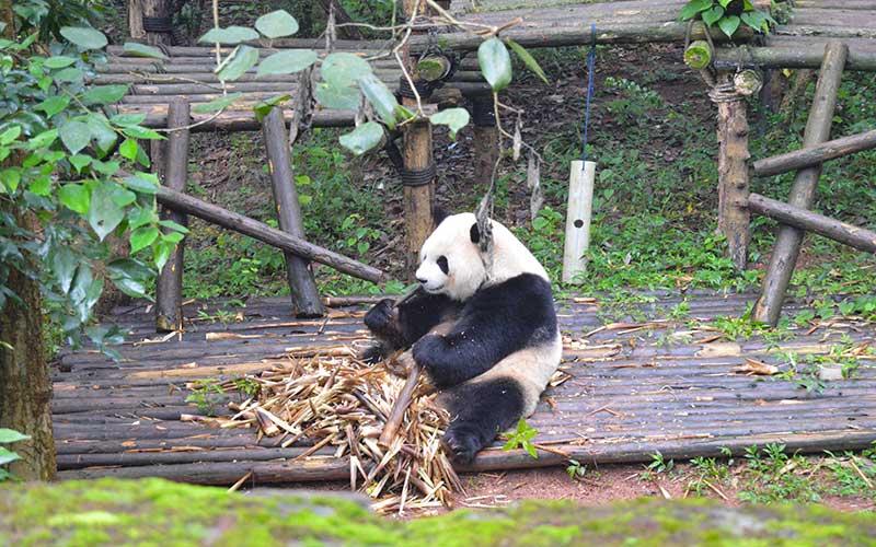 Qué ver en Chengdu y cómo visitar el Centro de conservación de Osos Panda