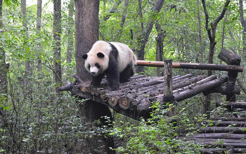Centro de conservación de osos panda de Chengdu